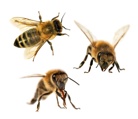 honey bees isolated on the white background