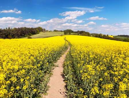 Field of rapeseed, canola or colza in Latin Brassica napus with beautiful cloudy sky and path way, rape seed is plant for green energy and green industry, springtime golden flowering field Stock Photo