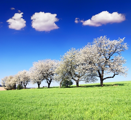 alley of flowering cherry trees and green spring time corn field with beautiful clouds on sky, springtime view