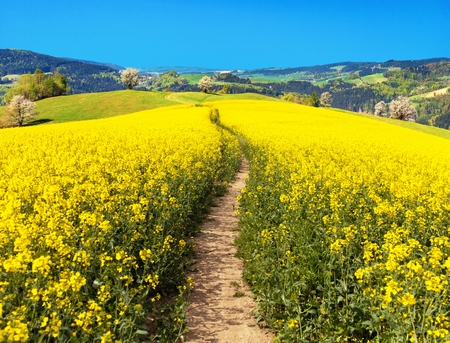 Field of rapeseed, canola or colza in Latin Brassica napus with path way, rape seed is plant for green energy and green industry, springtime golden flowering field