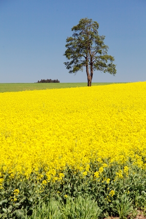 Field of rapeseed, canola or colza, in latin Brassica Napus and lime tree, rape seed is plant for green energy and green industry, springtime golden flowering field