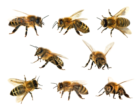 apis: group of bee or honeybee in Latin Apis Mellifera, european or western honey bee isolated on the white background, golden honeybees