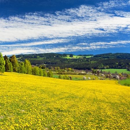 yellow flowering meadow full of dandelion, springtime view from Bohemian-moravian highlands, Czech Republic