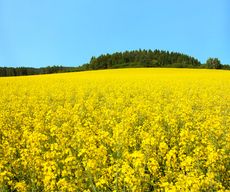 golden field of flowering rapeseed, canola or colza, brassica napus, plant for green energy and oil industry Stock Photo