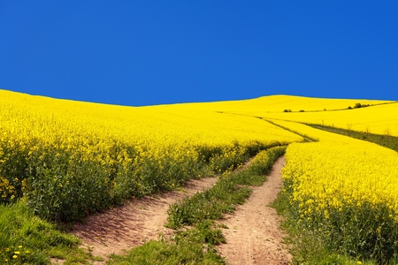 Field of rapeseed, canola or colza in Latin Brassica napus with rural road and beautiful cloud, rapeseed is plant for green energy and green industry, springtime golden flowering field