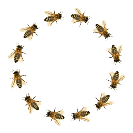group of bee or honeybee in the circle in Latin Apis Mellifera, european or western honey bee isolated on the white background
