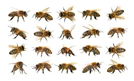 grupo de abeja o abeja en latín Apis Mellifera, europeo o occidental abeja de miel aislados en el fondo blanco, abejas de oro