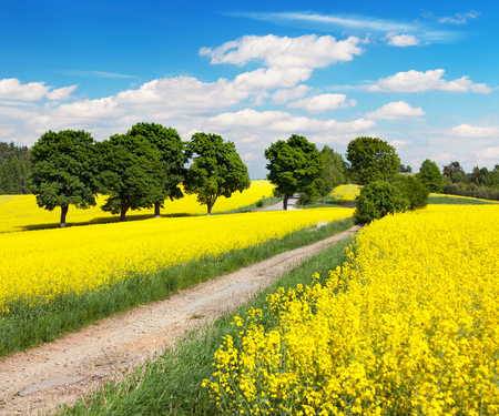 Field of rapeseed, canola or colza in Latin Brassica napus with rural road, alley and beautiful cloudy sky, rape seed is plant for green energy and oil industry, springtime golden flowering field
