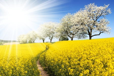 Rapeseed, canola or colza field with parhway, sun and alley of flowering cherry trees - Brassica Napus - rape seed is plant for green energy and oil industry - spring time view Stock Photo