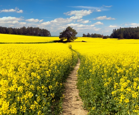 Field of rapeseed, canola or colza in Latin Brassica Napus with path way and beautiful cloudy sky, rape seed is plant for green energy and green industry, springtime golden flowering field Stock Photo