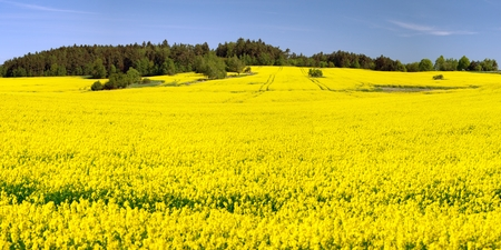 Field of rapeseed, canola or colza in Latin Brassica Napus, rape seed is plant for green energy and green industry, springtime golden flowering field, panoramic view