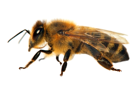 detail of bee or honeybee in Latin Apis Mellifera, european or western honey bee isolated on the white background Stock Photo