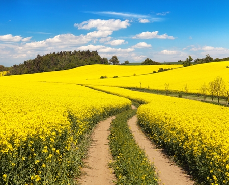 Field of rapeseed, canola or colza in Latin Brassica napus with rural road and beautiful cloud, rapeseed is plant for green energy and oil industry, springtime golden flowering rape seed field Stock Photo