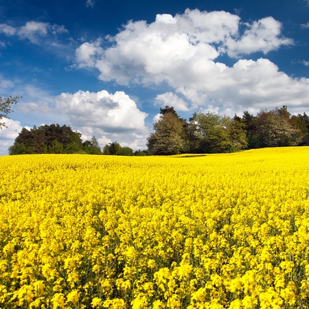 Field of rapeseed, canola or colza in Latin Brassica napus with beautiful cloudy sky, rape seed is plant for green energy and green industry, springtime golden flowering field Stock Photo