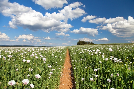 field of flowering opium poppy papaver somniferum and pathway