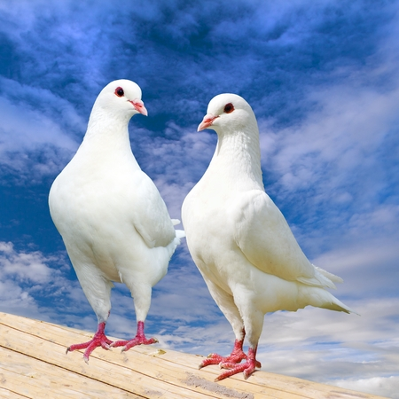 Two white pigeon on perch with beautiful sky, imperial pigeon, ducula Reklamní fotografie