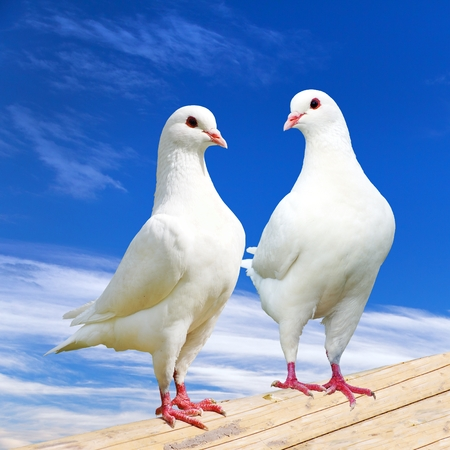 Two white pigeon on perch with beautiful sky, imperial pigeon, ducula 스톡 콘텐츠