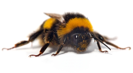 bumblebee or bumble bee isolated on the white background