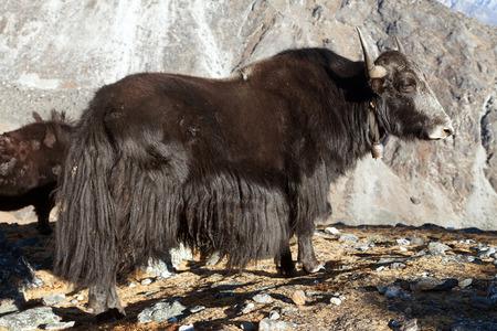 Black yak on the way to Everest base camp - Nepal Himalayas