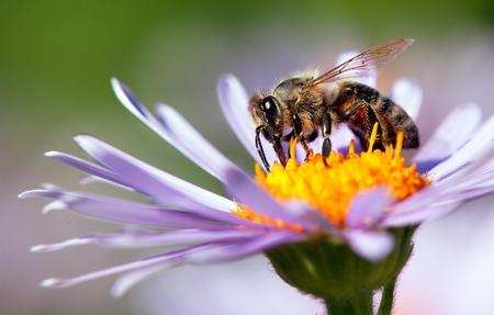 detail of bee or honeybee in Latin Apis Mellifera, european or western honey bee sitting on the violet or blue flower Stock Photo