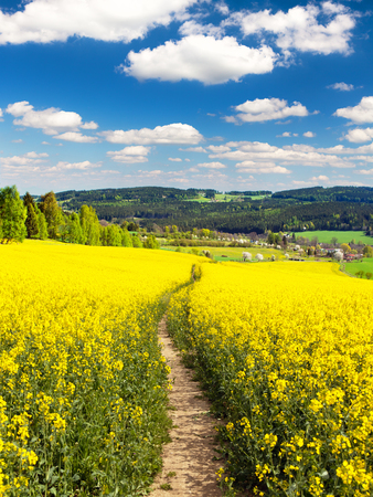 Field of rapeseed, canola or colza in Latin Brassica napus with path way and beautiful clouds on sky, rape seed is plant for green energy and green industry, springtime golden flowering field Stock Photo