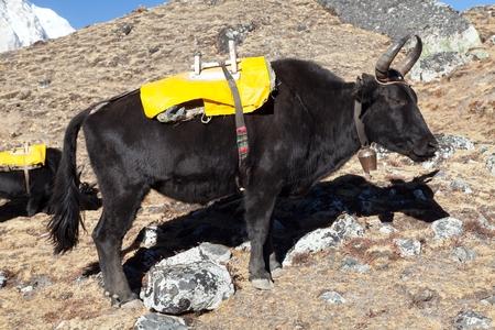 Black yak on the way to Everest base camp - Nepal Stok Fotoğraf