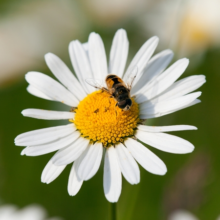 detail of fly sitting on white flower of common daisy