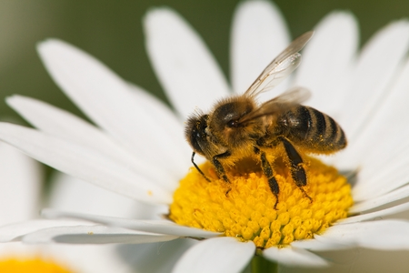 detail of bee or honeybee in Latin Apis Mellifera, european or western honey bee sitting on white flower of common daisy