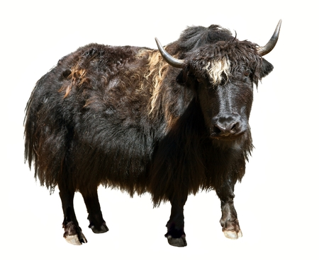 Black yak (Bos grunniens or Bos mutus) isolated on the white background. Yak is farm animal in Tibet and Nepal Reklamní fotografie