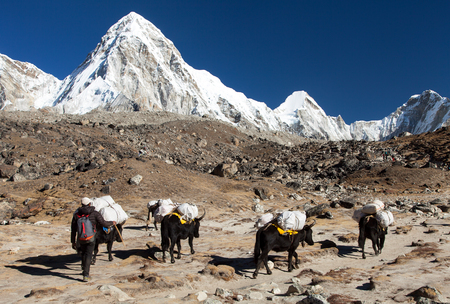 Caravan of yaks on the way to Everest base camp and mount Pumo ri - Nepal Himalayas mountains
