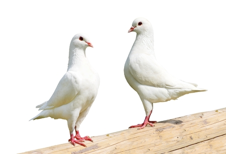 Two white pigeon - imperial-pigeon - ducula isolated on the white background