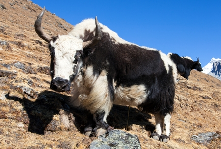 Black and white yak (Bos grunniens or Bos mutus) on the way to Everest base camp - Nepal Himalayas 免版税图像
