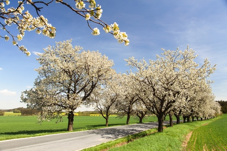 alley of cherry trees white flowering beautiful view Stock Photo - 115347883