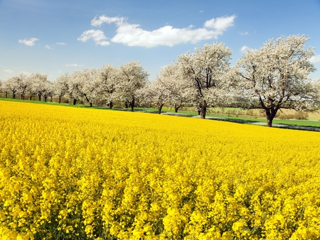 rapeseed canola or colza field and alley of flowering cherry trees with beautiful sky Brassica Napus rape seed is plant for green energy and oil industry - spring time view