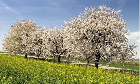 field of rapeseed and alley of cherry trees, rapeseed is the best plant for green energy and oil industry