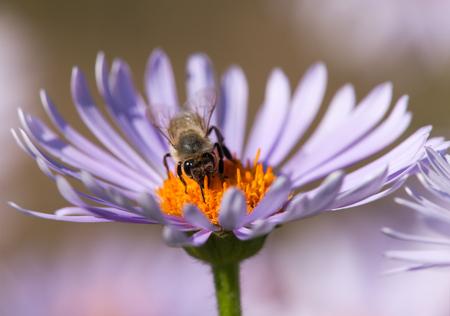 detail of bee or honeybee in Latin Apis Mellifera, european or western honey bee sitting on the yellow violet or blue flower