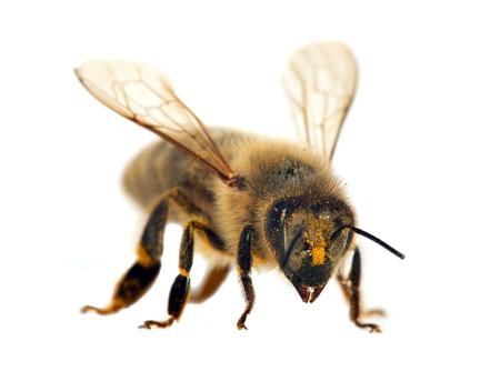 detail of bee or honeybee in Latin Apis Mellifera, european or western honey bee isolated on the white background 版權商用圖片