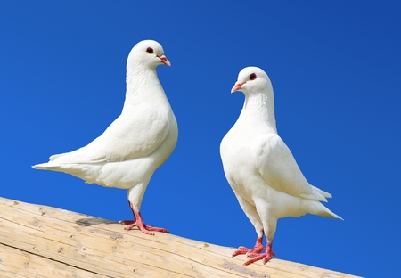 Two white pigeon isolated on blue background - imperial-pigeon - ducula 스톡 콘텐츠
