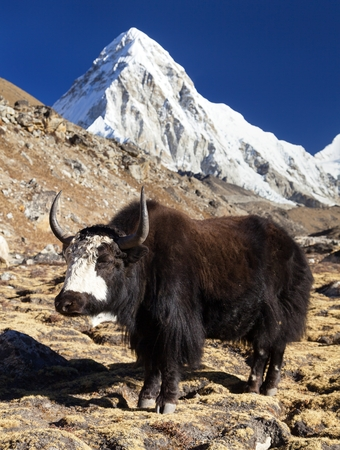 Black yak, bos grunniens or bos mutus on the way to Everest base camp and mount Pumo ri - Nepal Himalayas mountains Stock Photo
