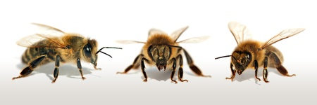 group of bee or honeybee in Latin Apis Mellifera, european or western honey bees isolated on the white background, golden honeybees Banco de Imagens