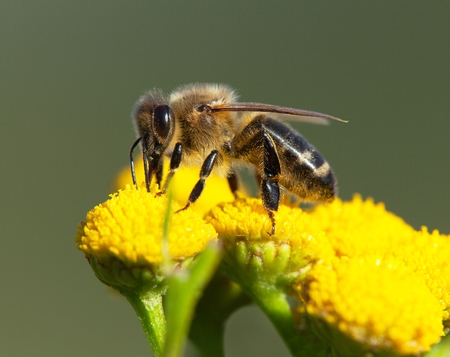detail of bee or honeybee in Latin Apis Mellifera, european or western honey bee pollinated of the yellow flower
