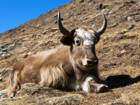 Yak on the way to Everest base camp (Bos grunniens or Bos mutus) - Nepal Himalayas mountains Stock Photo