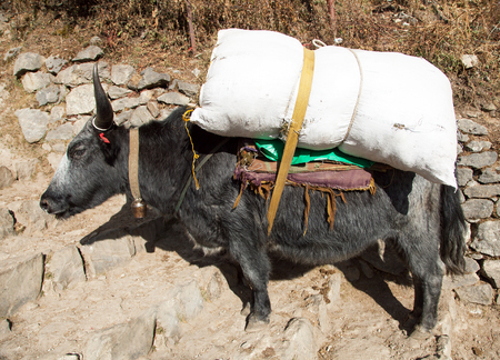 black yak (Bos grunniens or Bos mutus) on the way to Everest base camp - Nepal Himalayas mountains