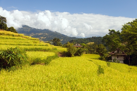golden terraced rice or paddy field in Nepal Himalayas mountains beautiful himalayan landscape