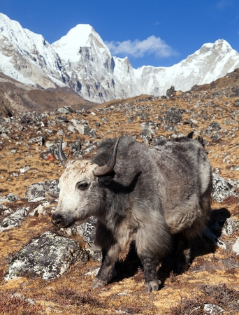 Yak, bos grunniens or bos mutus, on the way to Everest base camp and mount Pumo ri - Nepal himalayas mountains