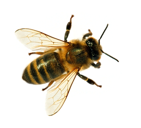 Detalle de abeja o abeja en latín Apis Mellifera, abeja de miel europea o occidental aislado en el fondo blanco.