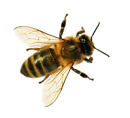 dettaglio di ape o ape in latino Apis Mellifera, ape europea o occidentale isolata su sfondo bianco