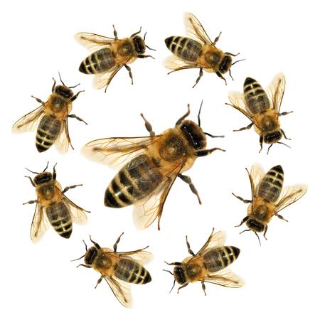 Grupo de abejas o abejas melíferas en latín Apis Mellifera, abejas melíferas europeas u occidentales aisladas sobre el fondo blanco, abejas doradas Foto de archivo