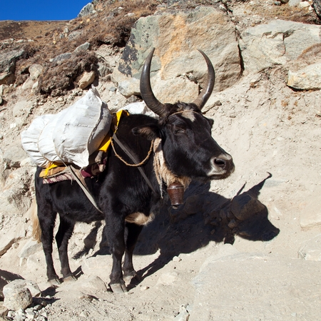Black yak, bos grunniens or bos mutus on the way to Everest base camp - Nepal