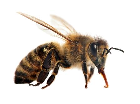 Detalle de abeja o abeja en latín Apis Mellifera, abeja de miel europea o occidental aislado en el fondo blanco. Foto de archivo